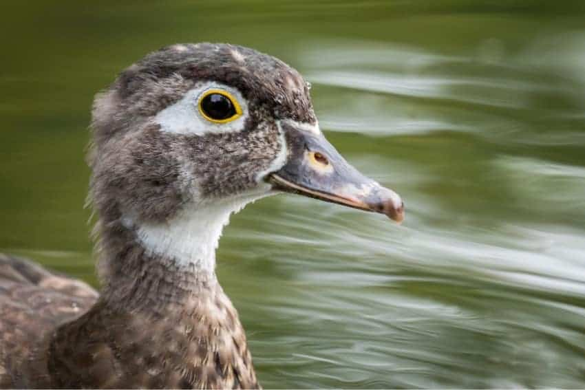 Image of a duck
